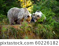 Two young brown bears in the authumn forest 60226182
