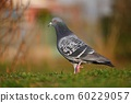 Pigeon. Beautiful shot of bird in nature  60229057