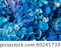 Flowery texture for background. Beautiful blooming blue hydrangea flowers. 60245739