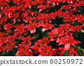 Poinsettia Christmas traditional flower 60250972