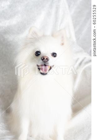 Pomeranian 60255529