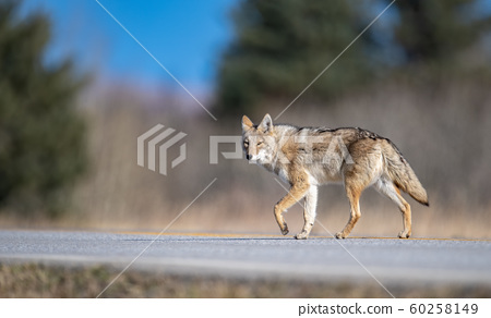 Coyote in Canada 60258149