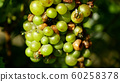 Ripe grapes and ripeness in viticulture, white wine and common green bottle fly Lucilia sericata blowfly or blow flies insect. Overripe fruits with green and blue flies, agriculture and harvest fruit 60258378
