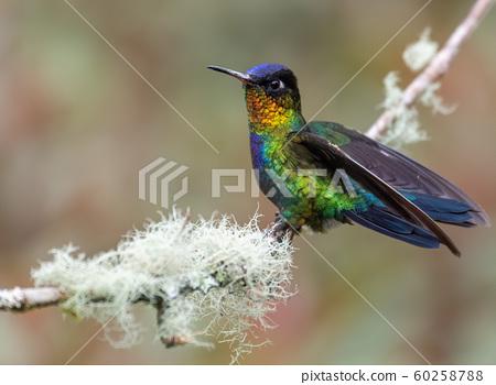 Hummingbird in Costa Rica 60258788