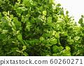 Small leaved lime (Tilia cordata) tree, detail on 60260271