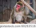 Japanese Macaque Monkey 60263516