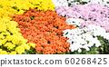 autumn garden chrysanthemum blossomin in pot - 60268425