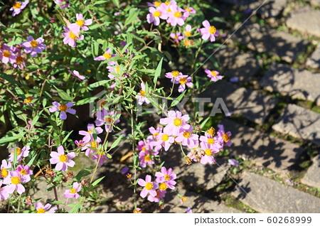 겨울 코스모스 꽃 빈데스 60268999