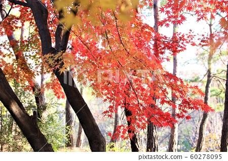 단풍,가을,평화공원,상암동 60278095