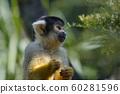Squirrel Monkey, Mogo zoo, Tomakin road, Mogo, New South Wales, Australia 60281596
