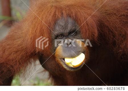 紅毛猩猩與蘋果 60283678