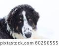 Bulgarian Shepherd, Karakachan Dog Portrait 60290555