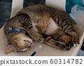 A touching gray cat in a blue collar lies 60314782