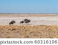 Wildebeest on the plains of Etosha National Park 60316106