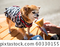 Pomeranian in yukata dress eat ice cream 60330155