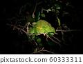 Chameleon at night over branch in Safari 60333311
