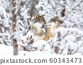 Two beautiful wolves in the forest a snowy day at winter 60343473