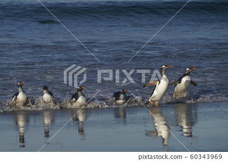Gentoo Penguins coming ashore 60343969