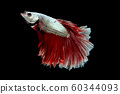 Colorful with main color of metallic white and red betta fish, Siamese fighting fish was isolated on black background 60344093