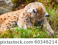 Caring lynx mother and her cute young cub in the grass 60346214