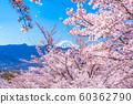 후지산과 벚꽃 눈보라 후에 후키 과일 공원 【야마나시 현] 60362790