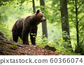 Curious brown bear observing the surroundings of the beautiful blooming forest 60366074