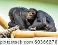 The black-headed spider monkey, Ateles fusciceps is a species of spider monkey 60366270