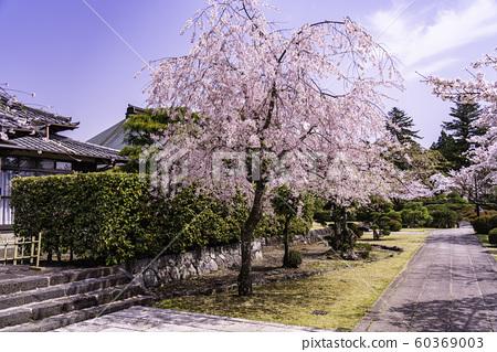 (시즈오카 현) 大石寺 경내의 만발한 벚꽃 60369003