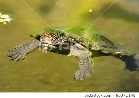 Mary River Turtle 60371149