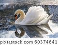 Beautiful swan at Grundlsee, Austria, winter, 60374641