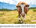 Cow on a mountain pasture in the mountains, around a flock of flies 60395592