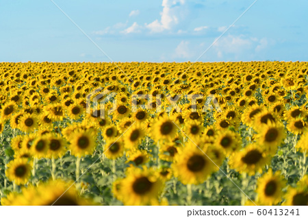 Full bloom sunflower field in travel holidays 60413241