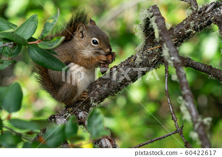 Red Squirrel, Tamiasciurus hudsonicus 60422617