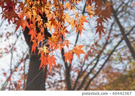 가을 단풍 60442367
