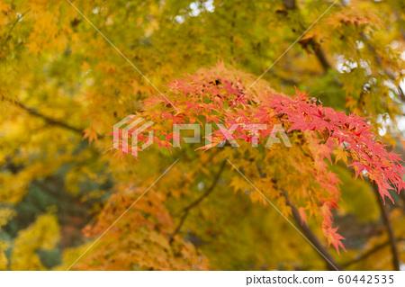 가을 단풍 60442535