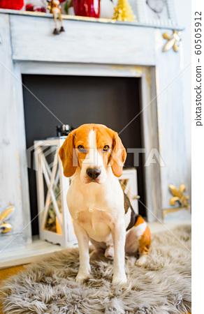 Beagle dog sitting down on the carpet floor. 60505912