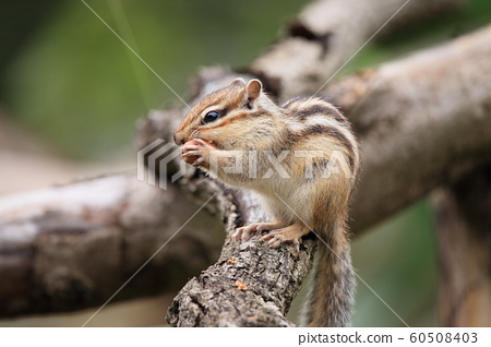 다람쥐 60508403