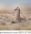 Young Giraffe resting 60513728