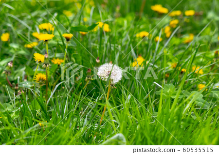 dandelions and other weeds among the grass 60535515