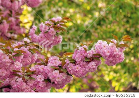 cherry blossom in the garden 60535519