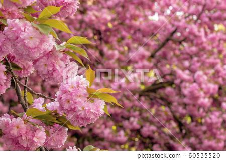 cherry blossom in the garden 60535520