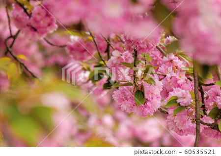 cherry blossom in the garden 60535521