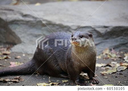 Otter 60538105
