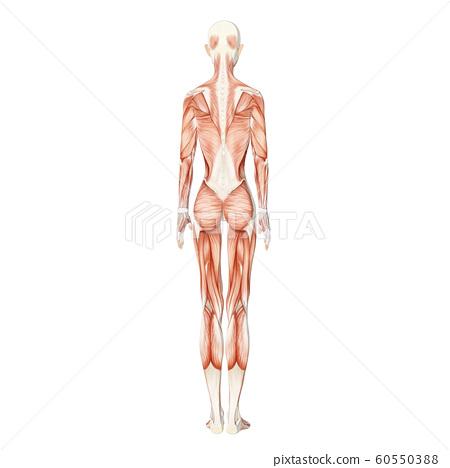근육 표본 여성 perming3DCG 일러스트 소재 60550388