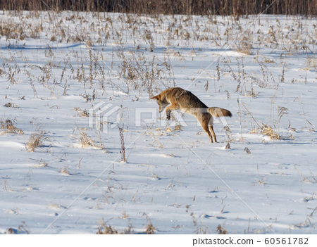 Coyote jumping for prey in the snowy field 60561782