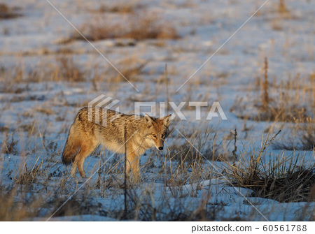 Coyote walking in the morning snow field 60561788
