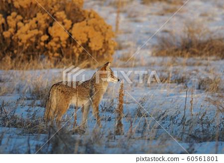 Coyote looking away in the snowy field 60561801