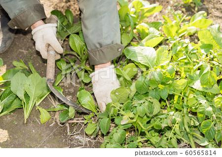 소송 채를 수확하는 농부 60565814