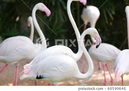 Focus in head of Flamingo birds. 60590648