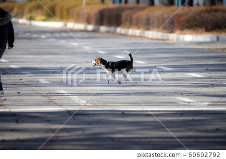 도로를 달려가는 반려견 60602792